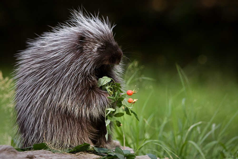 porcupine, protection, quills, love