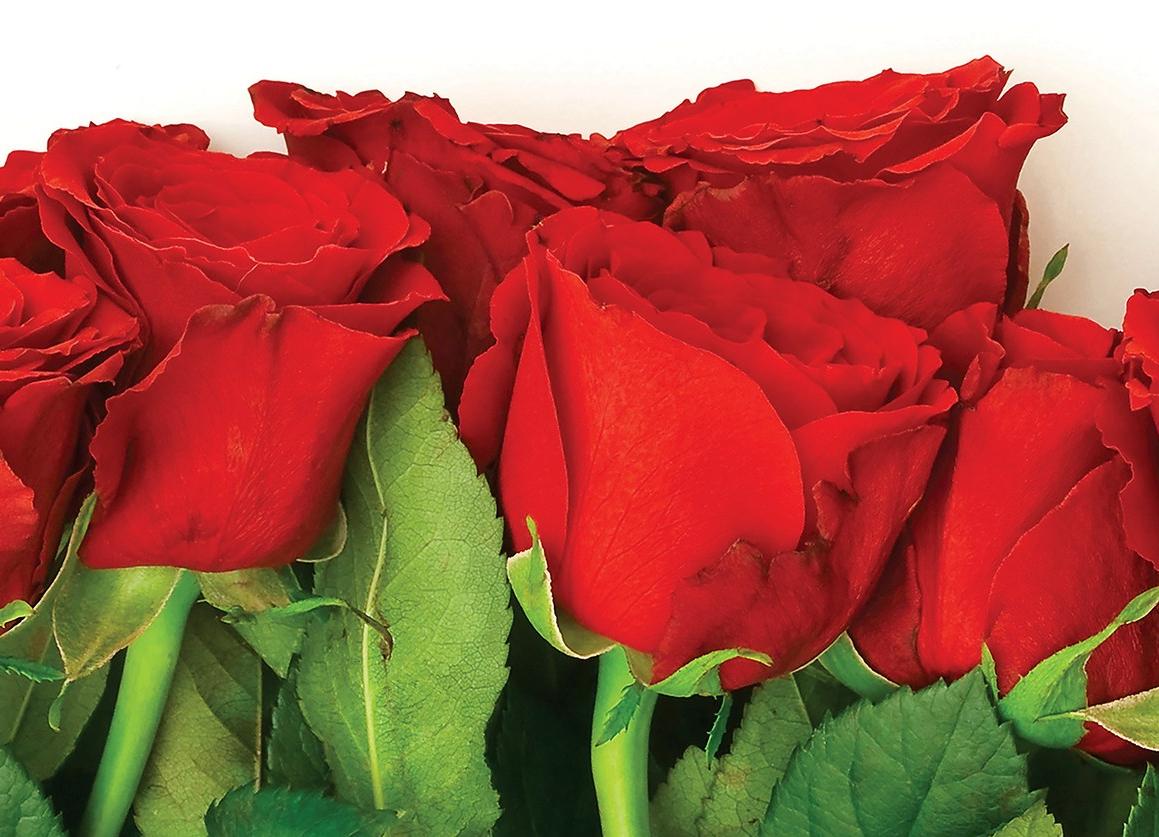 roses, rose, red rose
